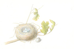 Finch Nest, gouache and graphite, 2013 by Mary Christiensen