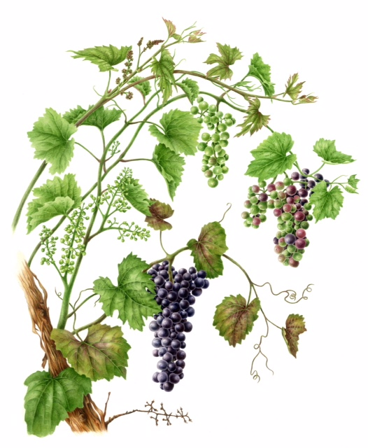 Grapevine, watercolor, 21x24, 2014 by Betsy Rogers-Knox